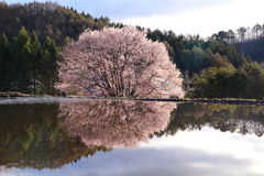 樱桃树反射在水中 免版税库存图片