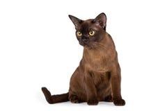 在白色背景的缅甸猫 库存图片