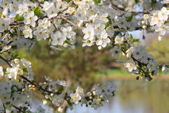 由湖的开花的苹果树 免版税库存照片