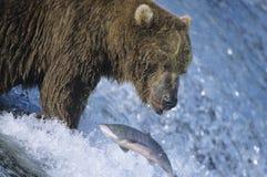 与鱼的北美灰熊游泳在嘴 免版税库存照片