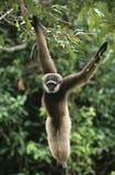 Смертная казнь через повешение обезьяны белки от дерева Стоковая Фотография