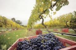 在条板箱的黑葡萄在葡萄园亚拉谷维多利亚澳大利亚 免版税库存图片