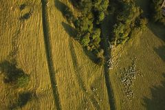 绵羊鸟瞰图在农场土地的 库存照片