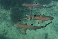 Акула младенца в море Стоковое Изображение RF