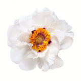 白色牡丹花 库存照片