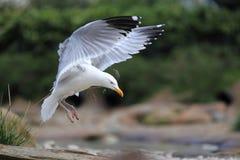 欧洲鲱鸥 库存图片