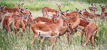 非洲瞪羚野生生物徒步旅行队 库存图片