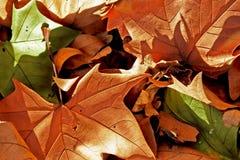 Καφετιά και πράσινα φύλλα Στοκ Εικόνες