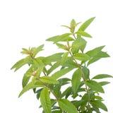 柠檬马鞭草属植物 图库摄影