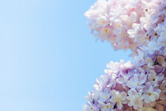 在蓝天的桃红色丁香 免版税库存照片