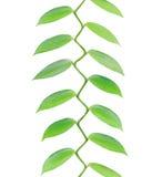 Тропические листья растя вверх изолированный на белизне Стоковая Фотография