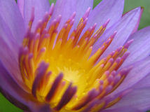 百合紫色水 库存照片