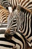 野生生物在非洲 库存照片