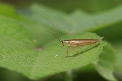 野生蟑螂 库存图片
