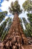 谢尔曼将军树在巨型美国加州红杉森林里 图库摄影