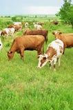 母牛牧群在一个绿色草甸的 库存照片