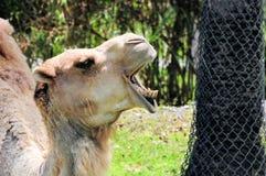 独峰驼骆驼特写镜头 图库摄影