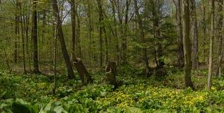 春天森林全景加拿大 免版税库存照片