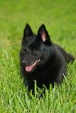 配置文件狐头竖耳无尾短毛小黑犬 库存图片