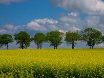 Желтое поле рапса Стоковое фото RF