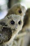 婴孩黄褐色的猫头鹰 库存图片