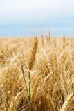 麦子茎 免版税图库摄影