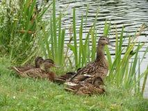 鸭子家庭 免版税库存图片