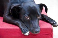 看与甜眼睛的狗 免版税库存图片