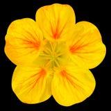 Желтый цветок настурции изолированный на черноте Стоковые Изображения RF
