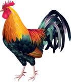 现实五颜六色的雄鸡的照片  库存照片
