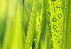 Φρέσκια χλόη φύσης με τις δροσιές Στοκ Εικόνα