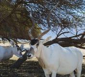 Аддакс антилопы в израильском заповеднике Стоковое Изображение RF