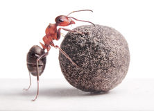 蚂蚁滚动重的石头 免版税图库摄影
