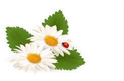 自然夏天与瓢虫的雏菊花。 免版税库存图片