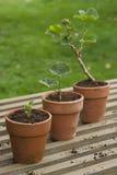 三棵盆的植物 免版税库存照片