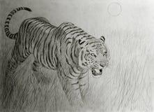 Тигр Бенгалии на заходе солнца Стоковое Изображение