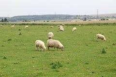 吃草在肯特领域的绵羊 免版税库存图片