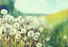 Фото представляя поле одуванчиков Стоковые Изображения