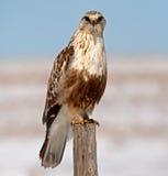 腿上有毛的鹰 免版税库存照片