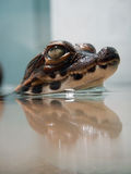 矮小的鳄鱼婴孩 免版税库存图片