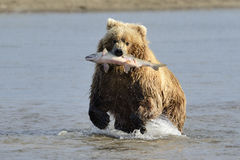 北美灰熊 库存照片
