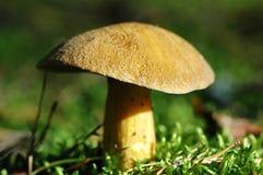 天鹅绒牛肝菌蘑菇 图库摄影