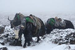 去从珠穆琅玛营地,尼泊尔的牦牛有蓬卡车 库存照片