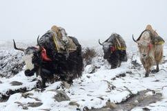 去从在暴风雪,尼泊尔的珠穆琅玛营地的牦牛有蓬卡车 免版税图库摄影