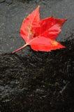 在湿岩石的红槭叶子 免版税图库摄影