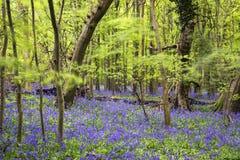 充满活力的会开蓝色钟形花的草地毯春天森林风景 库存图片