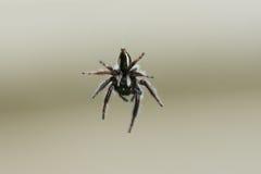 Η γραπτή αράχνη ανέστειλε στον αέρα την κινηματογράφηση σε πρώτο πλάνο Στοκ φωτογραφία με δικαίωμα ελεύθερης χρήσης