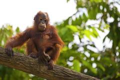 Орангутан Борнео Стоковое Изображение