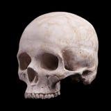 人的头骨模型 库存图片
