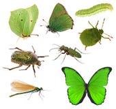 绿色在白色隔绝的昆虫收藏 免版税库存图片